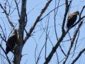 Семейство орланов