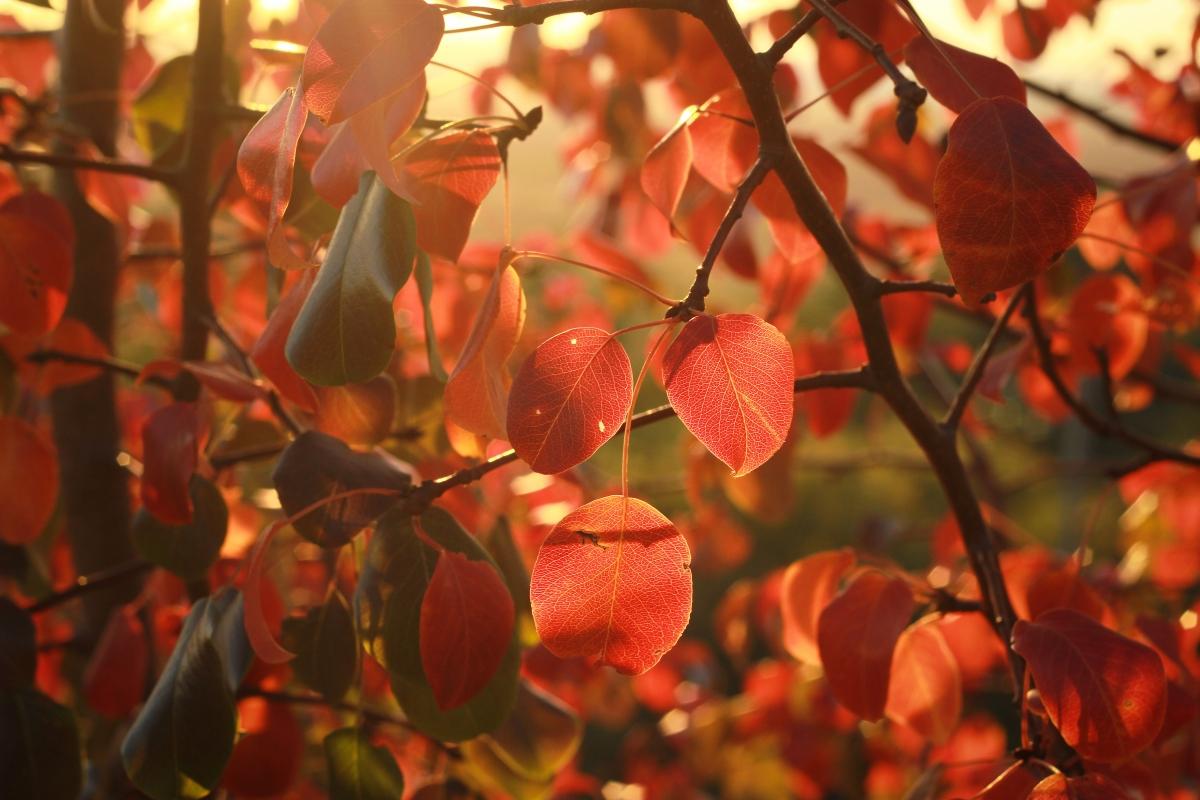 Рубиновые листья