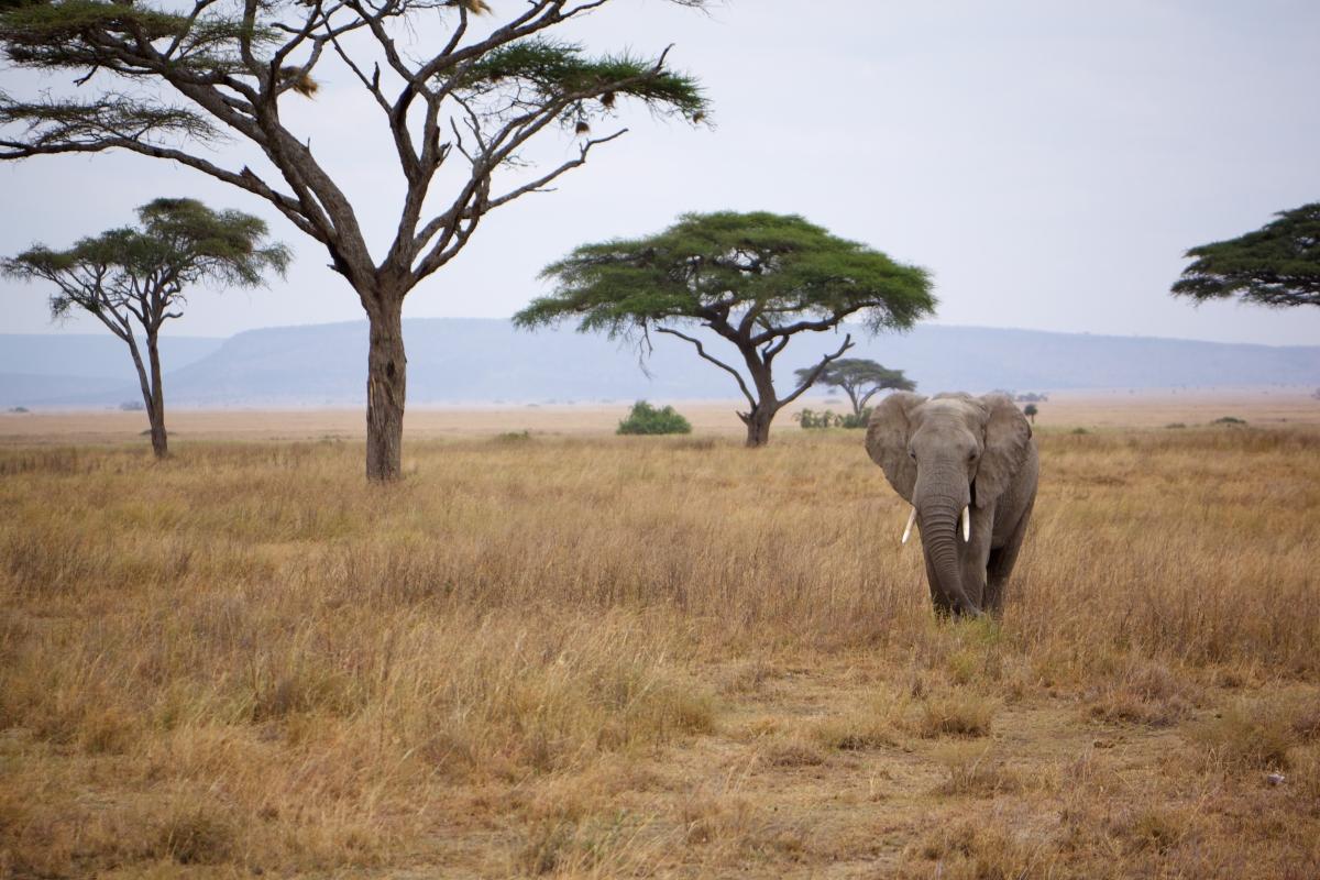 """Слон, бредущий через """"Бескрайние поля"""""""