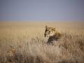 Львица в травах Серенгети