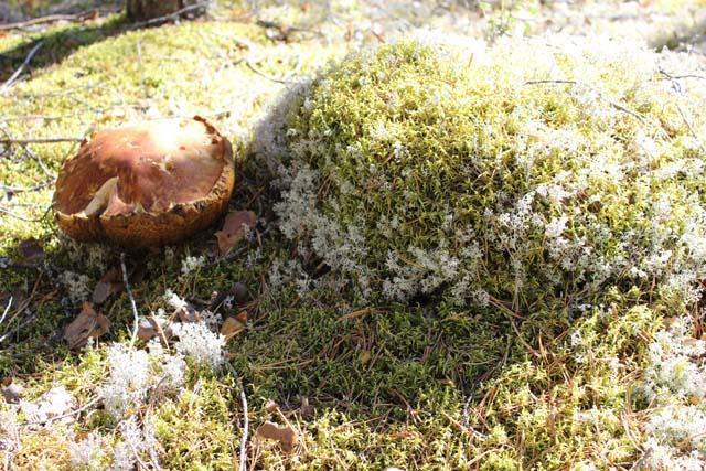 Леса Кемъяра полны грибов!